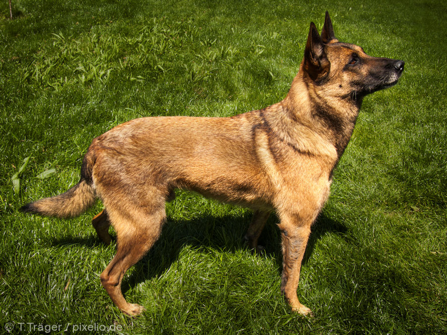 Belgian Malinois Pictures and Informations - Dog-Breeds.com