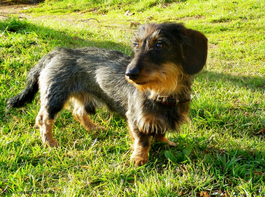 list of wire haired dog breeds f--f.info 2017