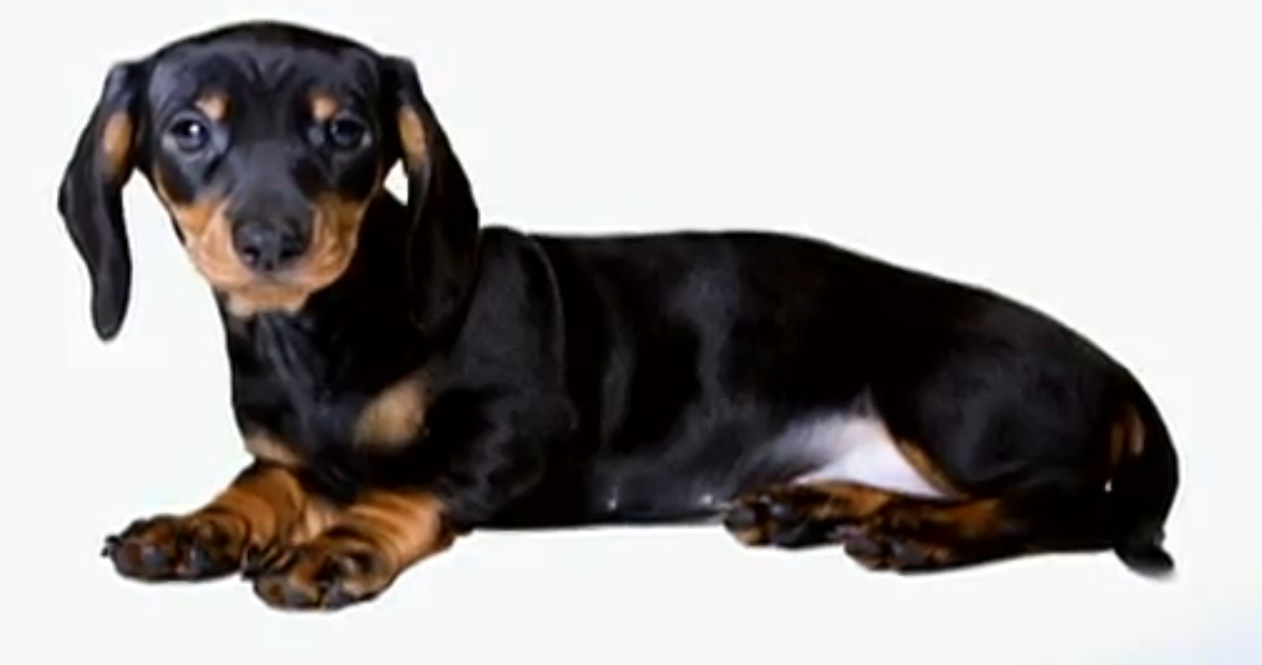Dachshund Pictures and Informations - Dog-Breeds.com
